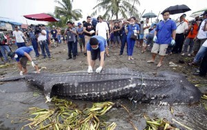 "Veterinarians from the Bureau of Fisheries and Aquatic Resources measure the carcass of a juvenile whale shark, known locally as a ""butanding"", at the coastline of Tanza, Cavite, southwest of Manila, September 5, 2013. The whale shark weighing approximately 300kg (661 pounds), and with a length of 6.72 metres (22 feet), was found by fishermen floating in the sea off Manila Bay on Wednesday, an official from the Bureau of Fisheries and Aquatic Resources said. (MNS photo)"