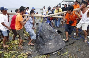 "A bamboo pole breaks as residents carry the carcass of a juvenile whale shark, known locally as a ""butanding"", at the coastline of Tanza, Cavite, southwest of Manila, September 5, 2013. The whale shark weighing approximately 300kg (661 pounds), and with a length of 6.72 metres (22 feet), was found by fishermen floating in the sea off Manila Bay on Wednesday, an official from the Bureau of Fisheries and Aquatic Resources said. (MNS photo)"