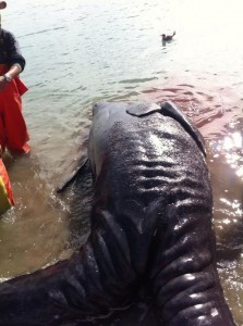 Two conjoined gray whale calves werte found  in a northwestern Mexican lagoon.