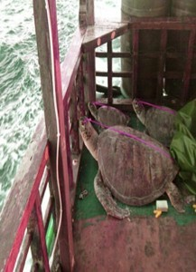 A photo from Philippine National Police Maritime Group showing live sea turtles seized from a Chinese vessel flying a Chinese flag off the Hasa-hasa Shoal (Half Moon Shoal) in the West Philippine Sea on May 6, 2014. The Philippine government said the trial of 9 of the 11 arrested Chinese poachers off the Hasa-hasa Shoal (Half Moon Shoal) in the West Philippine Sea will proceed, despite the refusal of the accused to participate in the proceedings.