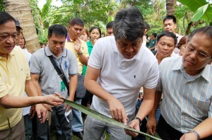 "Secretary Francis ""Kiko"" Pangilinan, Presidential Assistant for Food Security and Agricultural Modernization, shows the effect of the coco infestation ""Aspidiotus Rigidus"" to coconut trees at the sidelines of the launching of ""Sama-samang Aksyon ng Gobyerno, Industriya at Pamayanan sa Malawakang Pagsugpo ng Pesteng Cocolisap"" (SAGIP) program on Friday (June 20) at Barangay Potol, Tayabas, Quezon. (MNS photo)"